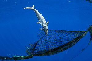 Dead juvenile Silky shark (Carcharhinus falciformis) entangled in a derelict fishing net (ghost net ) attached to a homemade FAD ( fish aggregating device), off the Kona Coast, Hawaii.  -  Doug Perrine
