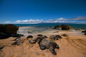 Green sea turtles (Chelonia mydas), basking at night on sand beach, Kahana, West Maui, Hawaii. With lights of Ka'anapali resort district in background  -  Doug Perrine