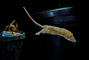 Brown rat (Rattus norvegicus) leaping from dustbin,  Sussex, England.  -  Stephen  Dalton