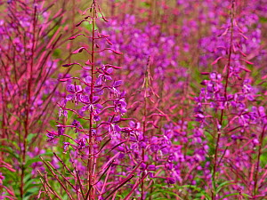 Rosebay willowherb (Chamerion angustifolium) Yew Hill Local Nature Reserve, Butterfly Conservation Reserve, near Winchester, Hampshire, England, UK, July.  -  Mike Read
