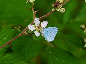 Holly blue butterfly (Celastrina argiolus) feeding on Bramble (Rubus fruiticosus) Church Place Inclosure, New Forest National Park, Hampshire, England, UK, July.  -  Mike Read