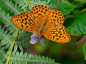 Silver-washed fritillary (Argynnnis paphia) male feeding on Bramble (Rubus fruiticosus) Wootton Copse, New Forest National Park, Hampshire, England, UK, July.  -  Mike Read