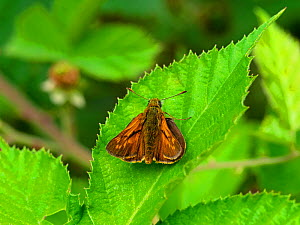 Large skipper butterfly (Ochlodes venatus) resting on a bramble leaf, New Forest National Park, Hampshire, England, UK, July.  -  Mike Read