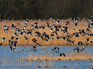 Northern lapwing (Vanellus vanellus) flock in flight over a reedbed pool, Ham Wall RSPB reserve, Avalon Marshes, Somerset Levels and Moors, England, UK, February.  -  Mike Read