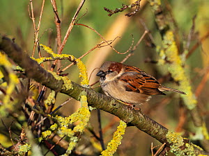 House sparrow (Passer domestica) male perched in Elder (Sambucus nigra), in the car park of Greylake RSPB Reserve, Somerset Levels and Moors, England, UK, February.  -  Mike Read