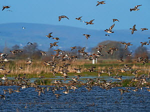 Eurasian wigeon (Anas penelope) and Common teal (Anas crecca) group in flight over a pool, Greylake RSPB reserve, near Greylake, Somerset Levels and Moors, Somerset, England, UK, February.  -  Mike Read