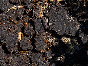Red ant (Myrmica rubra) colony found under a garden stepping stone, Ringwood, Hampshire, England, UK, April.  -  Mike Read