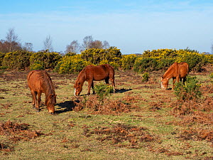 New forest ponies grazing on Rockford Common, New Forest National Park, Hampshire, England, UK, March.  -  Mike Read