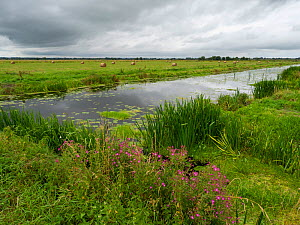 North drain and hay bales, Tadham Moor, Avalon Marshes, Somerset Levels and Moors, Somerset, England, UK, July.  -  Mike Read