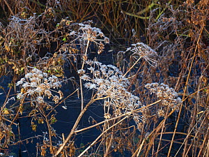 Wild angelica (Angelica sylvestris) seedheads with frost, Greylake RSPB Reserve, Somerset Levels and Moors, Somerset, England, UK, December 2019  -  Mike Read