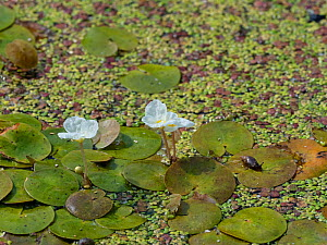 Frogbit (Hydrocharis morsus-ranae) growing in a roadside ditch, Somerset Levels and Moors, Somerset, England, UK, July.  -  Mike Read