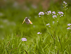 Orange tip butterfly (Anthocharis cardamines) male in flight amongst Lady's smock or Cuckooflower (Cardamine pratensis),England.  -  Stephen  Dalton