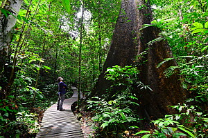 Photographer Enrique Lopez-Tapia looking up at buttress roots of trees along rainforest trail, in Gunung Mulu National Park, Borneo, Malaysia. Model released.  -  Enrique Lopez-Tapia