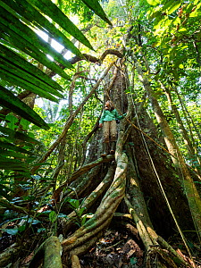 Young woman climbing large rainforest tree with buttress roots, Lowland Rainforest, Panguana Reserve, Huanuco province, Amazon basin, Peru. Model released.  -  Konrad Wothe
