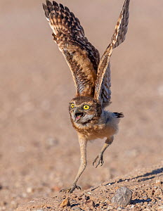 Burrowing owl (Athene cunicularia) chick, approximately 3 weeks after leaving burrow, running to meet parent arriving with food. Marana, Sonoran Desert, Arizona, USA.  -  Jack Dykinga