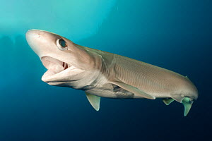 Atlantic sixgill shark (Hexanchus vitulus) swimming with open mouth. Cape Eleuthera, Bahamas.  -  Andy Murch