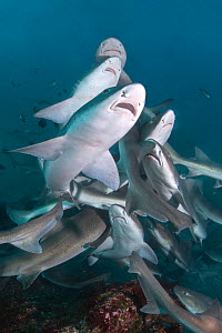 Banded houndshark (Triakis scyllium) group feeding. Chiba Prefecture, Honshu, Japan. October.  -  Andy Murch