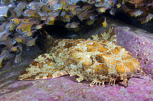 Banded wobbegong shark (Orectolobus halei) resting on reef, Bullseye fish (Pempherididae) shoal in background. South West Rocks, New South Wales, Australia.  -  Andy Murch