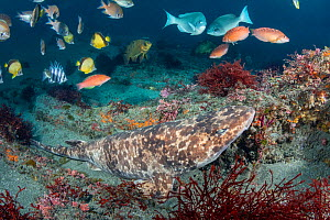 Blotchy swellshark (Cephaloscyllium umbratile) camouflaged in reef, small fish including Japanese butterflyfish (Chaetodon nippo) in background. Chiba Prefecture, Honshu, Japan. May.  -  Andy Murch