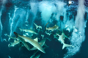 Bronze whaler shark (Carcharhinus brachyurus) group feeding alongside Cape gannet (Morus capensis) during sardine run. Wild Coast, Eastern Cape, South Africa. June.  -  Andy Murch