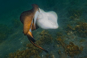 Haller's round ray (Urobatis halleri) pair, male gripping on to to tail and pelvic fins of female to subdue her before mating. Mulege, Baja California Sur, Mexico.  -  Andy Murch