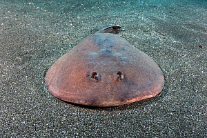 Japanese sleeper ray (Narke japonica) resting on sea floor. Chiba Prefecture, Honshu, Japan. May.  -  Andy Murch