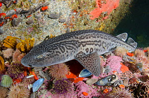 Leopard catshark (Poroderma pantherinum) in reef amongst sea urchins. Simon's Town, Western Cape, South Africa. June.  -  Andy Murch