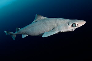 Little gulper shark (Centrophorus uyato). Cape Eleuthera, Bahamas.  -  Andy Murch