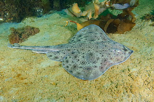 Little skate (Leucoraja erinacea) on sea floor. Cape Ann, Massachusetts, USA. September.  -  Andy Murch