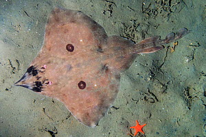Longnose skate (Beringraja rhina) on sea floor beside Starfish (Asteroidea). Deep Cove, British Columbia, Canada. November.  -  Andy Murch