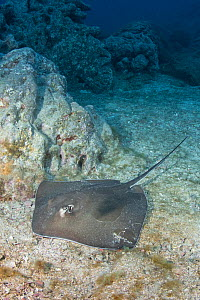 Longtail stingray (Hypanus longus) on sea floor. Socorro Island, Mexico.  -  Andy Murch