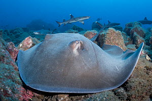 Longtail stingray (Hypanus longus) on reef, Whitetip reef shark (Triaenodon obesus) group in background. Socorro Island, Mexico.  -  Andy Murch
