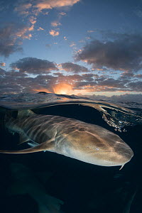Nurse shark (Ginglymostoma cirratum) swimming below surface at sunset. South Bimini Island, Bahamas.  -  Andy Murch