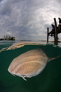 Nurse shark (Ginglymostoma cirratum) foraging for fish scraps, two people watching from jetty. Hawksnest Marina, Cat Island, Bahamas. 2012.  -  Andy Murch