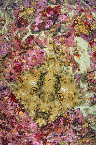 Pacific starry skate (Beringraja stellulata) on sea floor. Vancouver Island, British Columbia, Canada. August.  -  Andy Murch