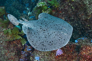 Pacific torpedo ray (Tetronarce californica) in reef. Catalina Island, California, USA.  -  Andy Murch