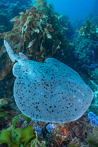Pacific torpedo ray (Tetronarce californica) above sea floor. Catalina Island, California, USA.  -  Andy Murch