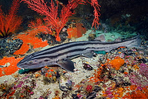 Pyjama shark (Poroderma africanum) in reef. Simon's Town, Western Cape, South Africa. June.  -  Andy Murch
