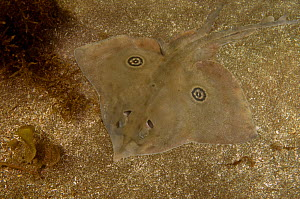 Rasptail skate (Raja velezi) resting on sea floor. La Paz Bay, Baja California Sur, Mexico.  -  Andy Murch