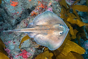 Sepia stingray (Urolophus aurantiacus) swimming over reef. Chiba Prefecture, Honshu, Japan. October.  -  Andy Murch