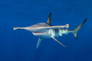 Smooth hammerhead shark (Sphyrna zygaena). Cabo San Lucas, Baja California Sur, Mexico.  -  Andy Murch