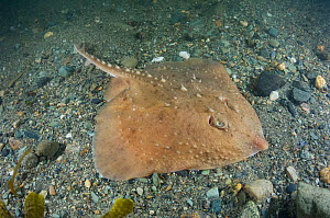 Thorny skate (Amblyraja radiata) above sea floor. Georges Bank, Rhode Island, New England, USA. April.  -  Andy Murch