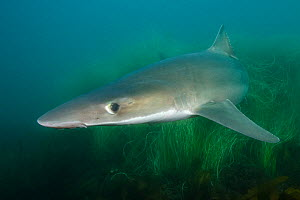 Tope shark (Galeorhinus galeus) over seagrass bed. San Diego, California, USA.  -  Andy Murch