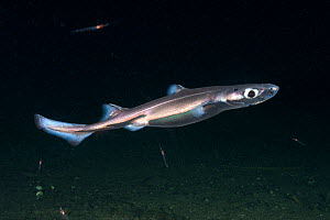 Velvet belly lanternshark (Etmopterus spinax), deepwater shark above sea floor. Namsenfjorden, Trondelag, Norway. October.  -  Andy Murch