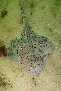 Winter skate (Leucoraja ocellata) on sea floor. Rhode Island, New England, USA. August.  -  Andy Murch
