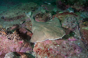 Angular angelshark (Squatina guggenheim) over reef. Mar Del Plata, Argentina. November.  -  Andy Murch