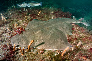 Angular angelshark (Squatina guggenheim) on sea floor. Mar Del Plata, Argentina. November.  -  Andy Murch