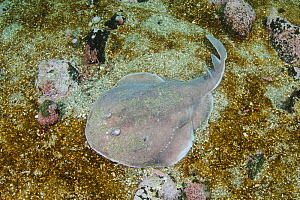 Apron ray (Discopyge tschudii) on sea floor. Zapallar Bay, Central Chile. November.  -  Andy Murch