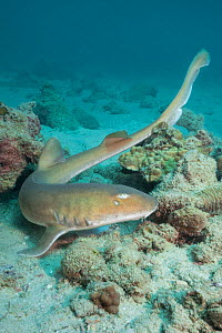 Arabian bamboo shark (Chiloscyllium arabicum) on sea floor. Abu Dhabi, United Arab Emirates.  -  Andy Murch