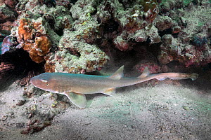 Arabian bamboo shark (Chiloscyllium arabicum) in reef. Abu Dhabi, United Arab Emirates.  -  Andy Murch